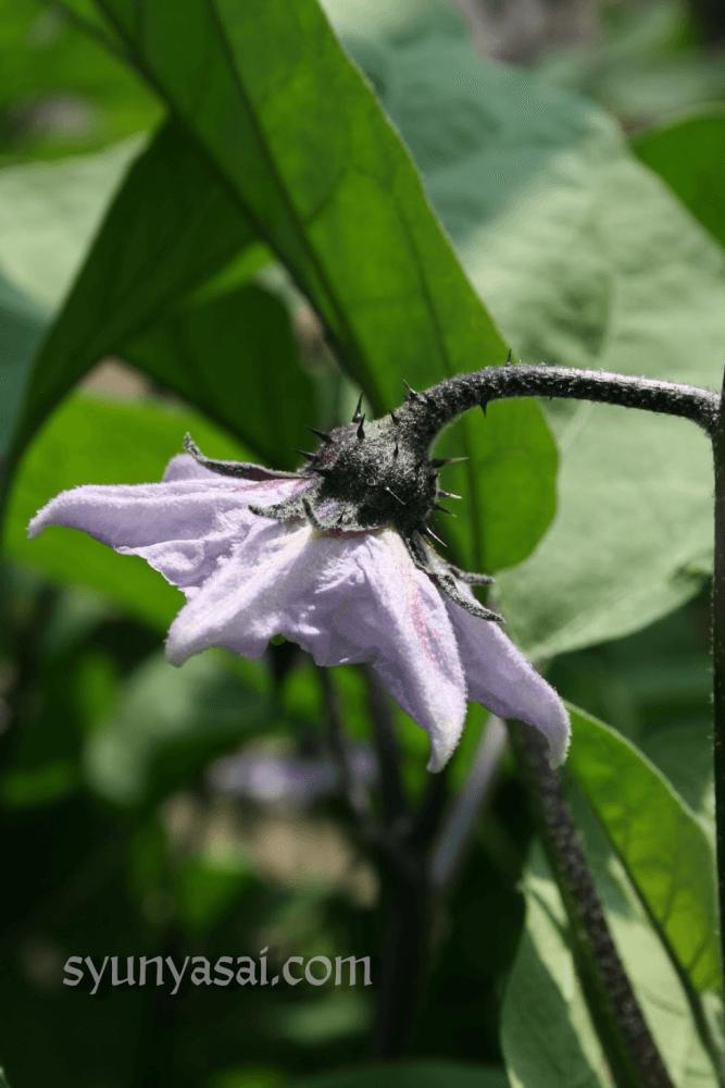 折戸茄子 花